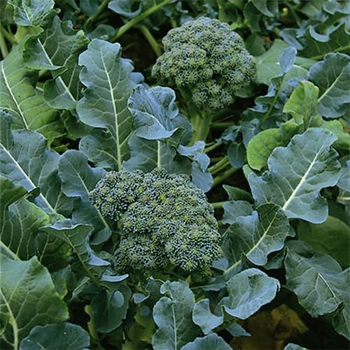 Seminte BRASSICA-Broccoli- oleracea italica Geen Spruting ORG - Broccoli verde intens