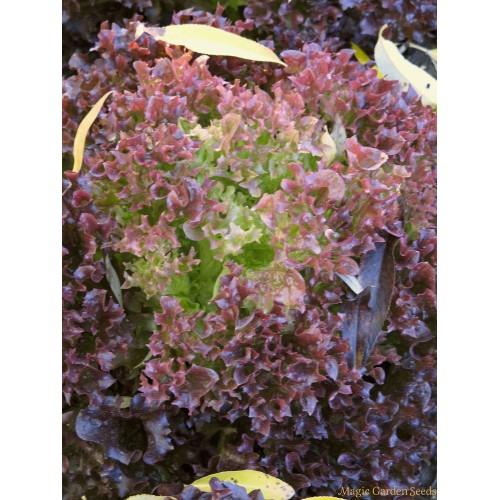 Seminte LACTUCA sativa-Lettuce-Lollo Rossa - Salata creata, rosie