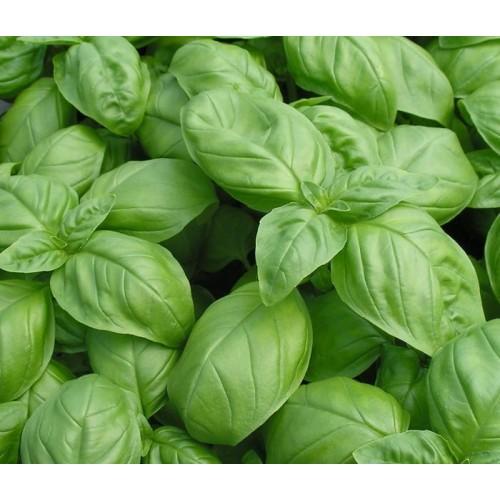 Seminte OCIMUM basilicum -Basil-Sweet ORG - Busuioc