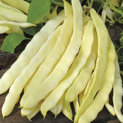 Seminte PHASEOLUS vulgaris-Clg Bean-Golden Gate - Fasole urcatoare cu teci late