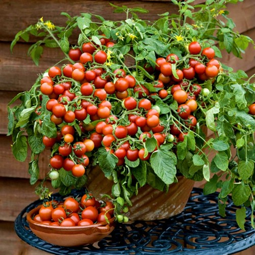 Seminte TOMATO Cherry Falls-Tomate cherry timpurii