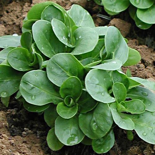 Seminte VALERIANELLA locusta-Labs Lettuce-Favor - Fetica