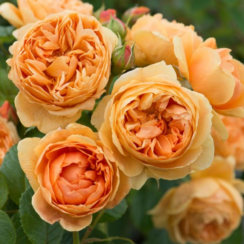 Trandafiri tufa Carolyn Knight