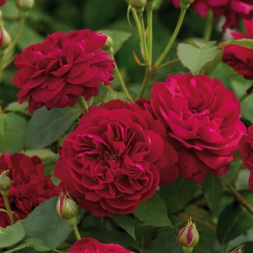 Trandafiri tufa Darcey Bussell
