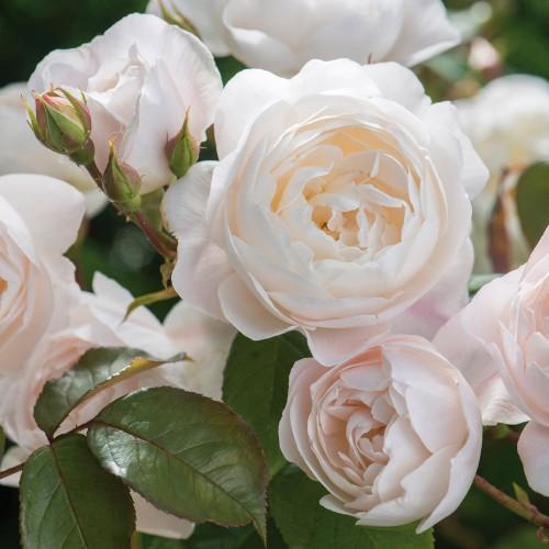 Trandafiri tufa Desdemona