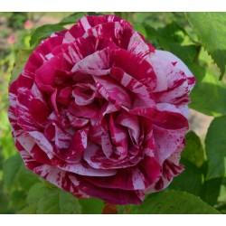 Trandafiri tufa bicolori Ferdinand Pichard