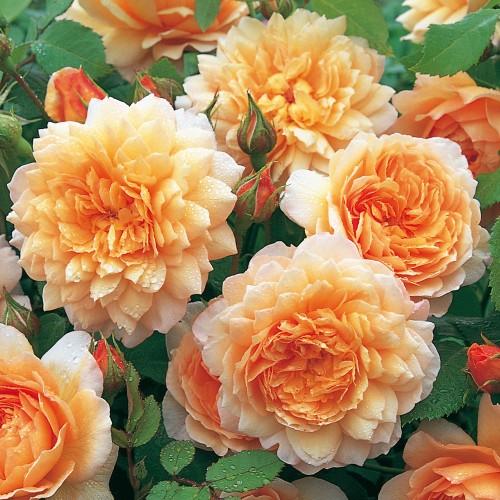 Trandafiri tufa Grace