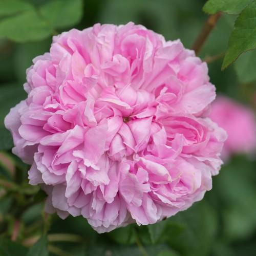 Trandafiri tufa bicolori Jacques Cartier