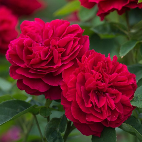Trandafiri tufa L D Braithwaite