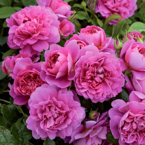 Trandafiri tufa Princess Anne