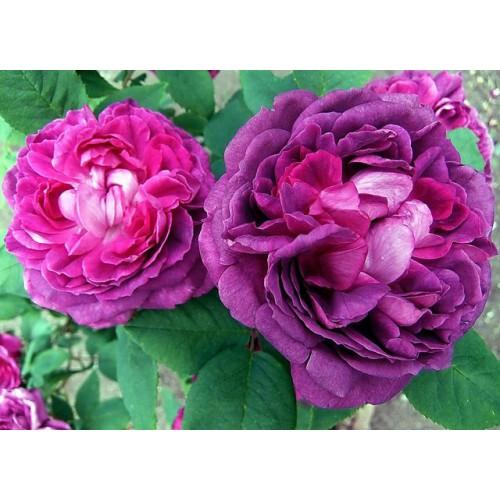 Trandafiri tufa Reine des Violettes