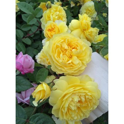 Trandafiri tufa The Poet s Wife