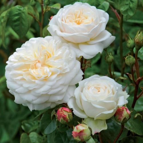 Trandafiri tufa Tranquillity