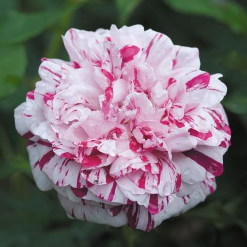 Trandafiri tufa bicolori Variegata di Bologna