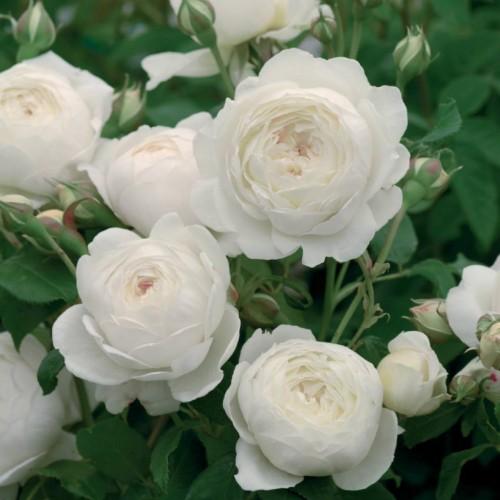 Trandafiri tufa William and Catherine