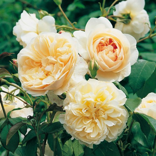Trandafiri tufa Lichfield Angel