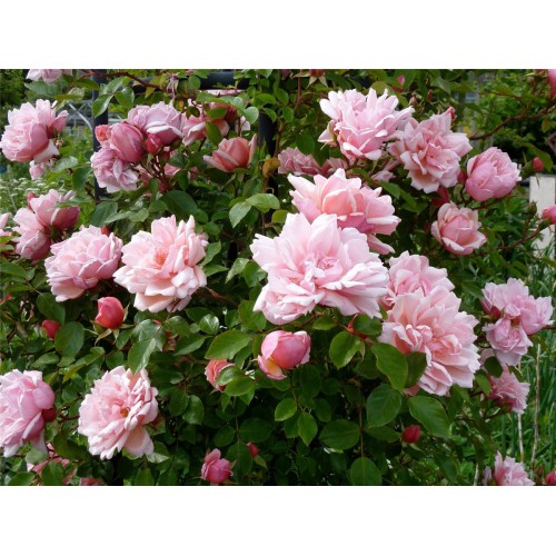 Trandafiri urcatori Albertine