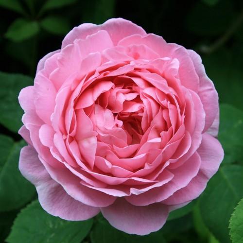 Trandafiri urcatori Constance Spry