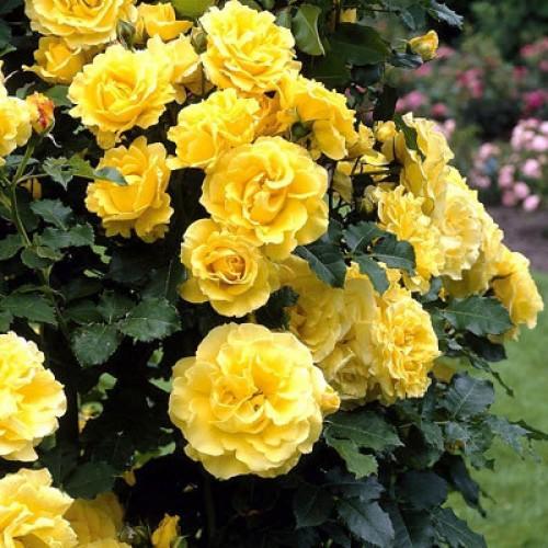 Trandafiri urcatori Golden Showers