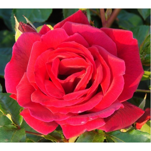 Trandafiri urcatori Ena Harkness