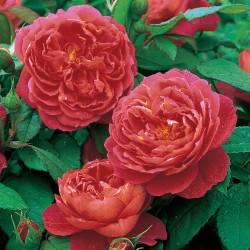 Trandafiri tufa Benjamin Britten
