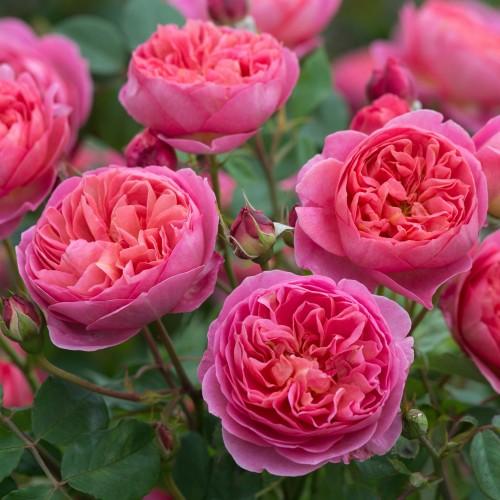 Trandafiri tufa Boscobel