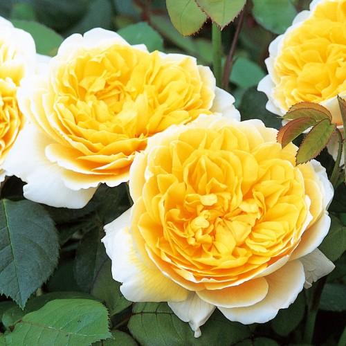 Trandafiri tufa Charlotte