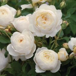 Trandafiri tufa Claire Austin