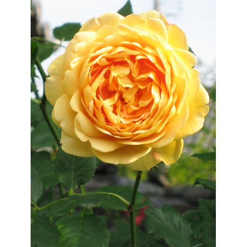 Trandafiri tufa Golden Celebration