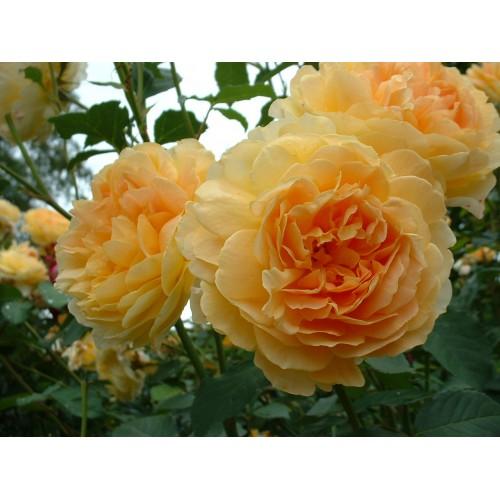 Trandafiri tufa Molineux