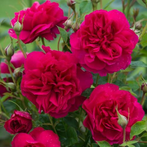 Trandafiri tufa Thomas A'Becket