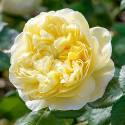 Trandafiri tufa Charles Darwin