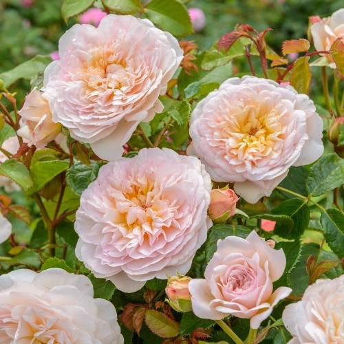 Trandafiri tufa Emily Bronte