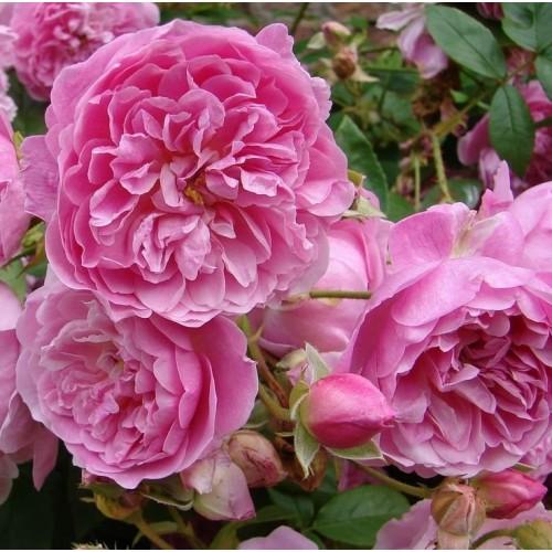 Trandafiri tufa Harlow Carr