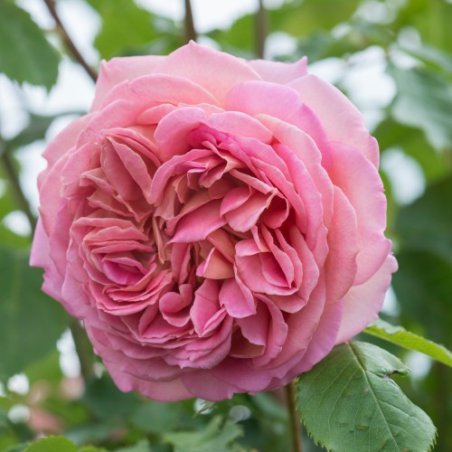 Trandafiri tufa Jubilee Celebration
