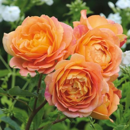 Trandafiri tufa Lady of Shallot