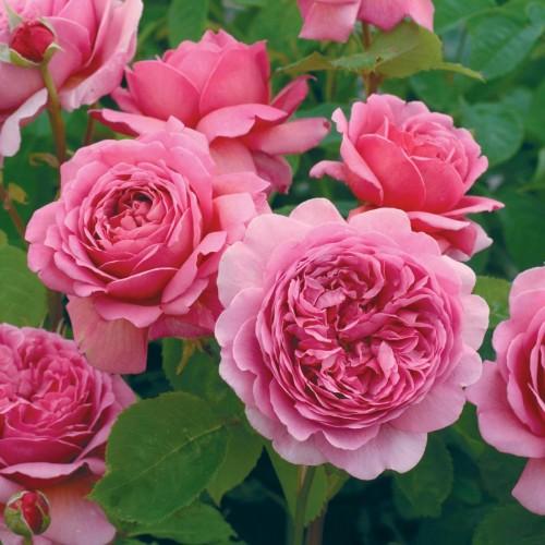 Trandafiri tufa Princess Alexandra of Kent