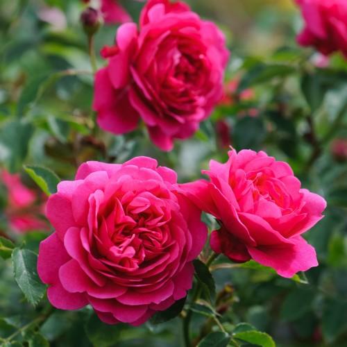 Trandafiri tufa Sir John Betjeman