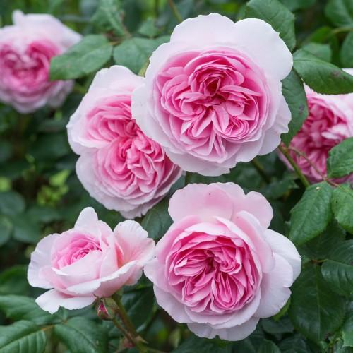 Trandafiri tufa The Ancient Mariner