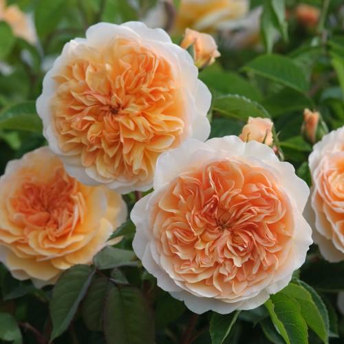 Trandafiri urcatori Bathsheba