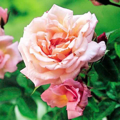 Trandafiri urcatori Compassion