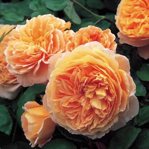Trandafiri urcatori Crown Princess Margareta