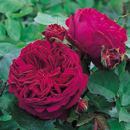 Trandafiri urcatori Falstaff