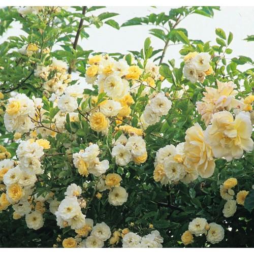 Trandafiri urcatori Goldfinch