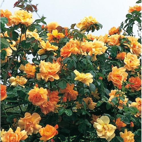 Trandafiri urcatori Maigold