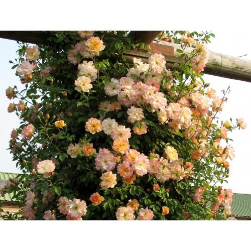 Trandafiri urcatori Phyllis Bide