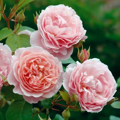 Trandafiri urcatori Strawberry Hill
