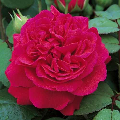 Trandafiri urcatori Tess of the D'Ubervilles