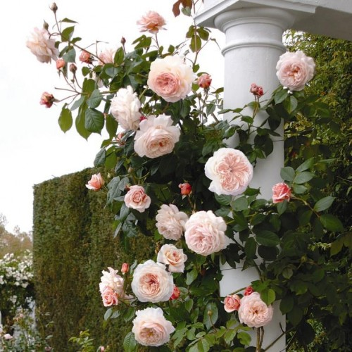 Trandafiri urcatori A Shropshire Lad