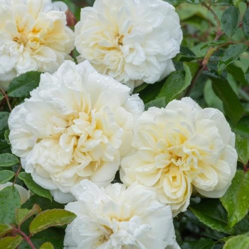 Trandafiri urcatori Alberic Barbier